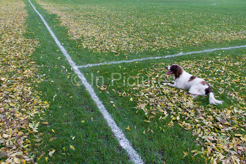 Springer spaniel sits on leaves dropped from overhead ash trees have been blown off football pitch lines by council workers in Ruskin Park, London borough of Lambeth. Days before the weekend starts and the field is used by youth league teams, the painted lines are more visible than before when they were covered, inhibiting clear decisions during a game. It is a scene of regular order, of a regimented and tidy landscape that suggests what pointless job someone has during times of austerity - when Lambeth council is closing libraries, toilets and childrens' play facilities.