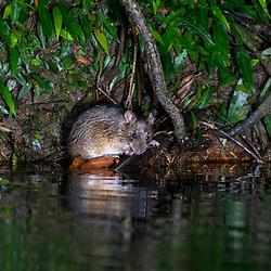 Roedor (espécie) fotografado no Parque Nacional da Chapada dos Veadeiros - Goiás. Bioma Cerrado. Registro feito em 2015.<br /> ⠀<br /> ⠀<br /> <br /> <br /> <br /> <br /> <br /> ENGLISH: Rodent photographed in Chapada dos Veadeiros National Park - Goias. Cerrado Biome. Picture made in 2015.