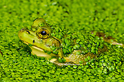 An American Bullfrog (Rana catesbeiana) waits motionless in a small pond completely covered in Duckweed (Lemnaceae) in hopes of catching a small fly (Drosophilidae) walking along the edge of its mouth.  <br /> <br /> The bullfrog is native to eastern North America with a natural range from the Atlantic Coast to as far west as Oklahoma and Kansas.  However, it has been introduced elsewhere where it is considered an invasive species, including Arizona, Utah, Colorado, Nebraska, Nevada, California, Oregon, Washington, Hawaii, Mexico, Canada, Cuba, Jamaica, Italy, Netherlands, France, Argentina, Brazil, Uruguay, Venezuela, Colombia, China, South Korea and Japan.  In some areas, the bullfrog is used as a food source.  <br /> <br /> Bullfrogs are voracious, ambush predators that eat any small animal they can stuff down their throats. Bullfrog stomachs have been found to contain rodents, reptiles, amphibians, crayfish, birds, bats, fish, tadpoles, snails and their usual food – insects.  Bullfrogs are able to jump a distance 10x their body length.  The female lays up to 20,000 eggs at a time that form a thin, floating sheet which may cover an area of 0.5 -1 m2 (5.4 - 10.8 sq ft). The embryos hatch in 3 - 5 days. Time to metamorphize into an adult frog ranges from a few months in the southern part of their range to 3 years in the north where the colder water slows development.  Maximum lifespan in the wild is 8 - 10 years, but one bullfrog lived for almost 16 years in captivity.<br /> <br /> Duckweed (Lemnoideae) are small flowering aquatic plants which float on or just beneath the surface of still or slow-moving bodies of fresh water. These plants lack obvious stems or leaves, and depending on the species, each plant may have no root or one or more simple rootlets.  Reproduction is mostly by asexual budding, however, occasionally three tiny flowers are produced for sexual reproduction.  The flower of the duckweed measures a mere 0.3 mm (1/100th of an inch) long.<br /> <br /