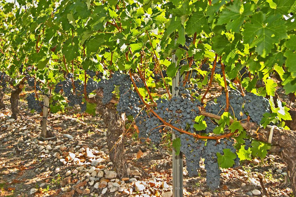 A cabernet Sauvignon vine, circa 35 years old with ripe grape bunches  - Chateau Belgrave, Haut-Medoc, Grand Crus Classee 1855