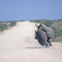 Namibia, Etosha National Park, White Rhino (Cerototherium simun) runs down dusty road.