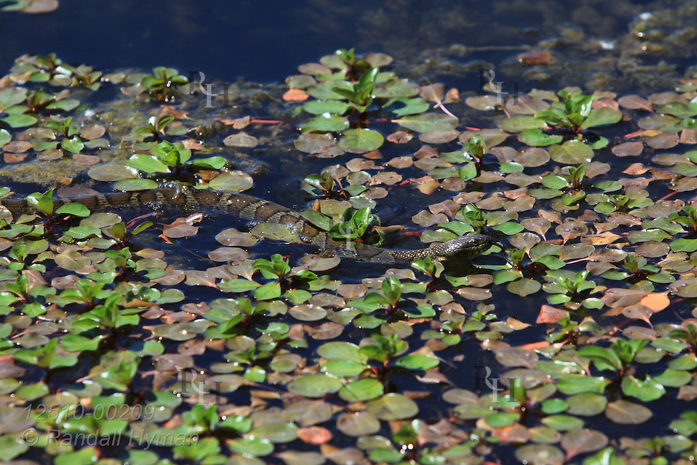Northern water snake (Nerodia sipedon) is nearly invisible as it rests in camouflage of aquatic plants at August A. Busch Memorial Conservation Area; Saint Charles, Missouri.