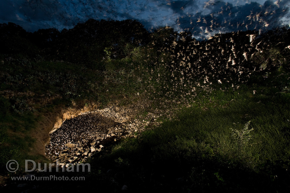 Mexican free-tailed bats (Tadarida brasiliensis) emerge from Bracken Cave at dusk.  Bracken Cave is currently estimated to have a colony of more than 20 million bats, making it the single largest concentration of mammals in the world. Bracken Cave is a owned and managed by Bat Conservation International, and access to the cave is restricted to protect the habitat of the bats residing therein.