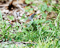 Chipping Sparrow. Image taken with a Nikon D3s camera and 500 mm f/4 VR lens.