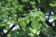 Crimean Lime Tilia x euclora (Height to 20m) is similar to Lime, but leaves are dark, shiny green above with reddish hairs in vein axils below. Flower clusters have 3–7 flowers and fruits are elliptical and pointed. A hybrid between Small-leaved Lime and T. dasystyla, planted because aphid numbers are low.