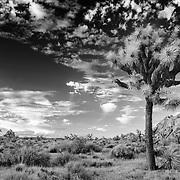 Joshua Cloud Painting - Joshua Tree National Park CA - Infrared Black & White