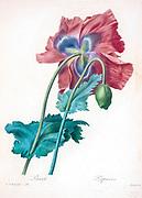19th-century hand painted Engraving illustration of a red poppy (papaver) flower, by Pierre-Joseph Redoute. Published in Choix Des Plus Belles Fleurs, Paris (1827). by Redouté, Pierre Joseph, 1759-1840.; Chapuis, Jean Baptiste.; Ernest Panckoucke.; Langois, Dr.; Bessin, R.; Victor, fl. ca. 1820-1850.