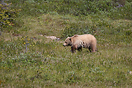 A grizzly (brown) bear by the side of the road on The Icefields Parkway, Highway 93 north, is a scenic road in Alberta, Canada. It parallels the Continental Divide, traversing the rugged landscape of the Canadian Rockies, travelling through Banff National Park and Jasper National Park. It links Lake Louise with Jasper to the north.