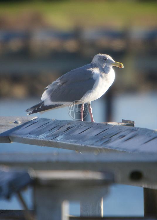 Birds of 2013: California Gull in Elliott Bay.