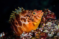 Yellow hawkfish, Cirrhitichthys aureus, native to tropical reefs of the Indian Ocean and the western Pacific Ocean, reach a length of 14 cm. Po Bin Chau, Sai Kung archipelago, Hong Kong, China. This Image is a part of the Wild Wonders of China mission to Hong Kong.