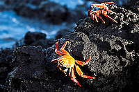 Two crabs on lava rocks, Galapagos. Wildlife photography wall art for sale. Fine art photography prints, stock images.