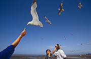 An unseen person's hand reaches from the corner of the picture to offer a chip (French fry) to a hovering seagull at Minehead on the Somerset coast, South-west England. Another younger person has turned around to see what is happening but is also holding up his hand to other birds  none of the others are accepting the free meal. The summer afternoon sky is filled with bird life but clear of clouds and is a deep coastal blue which echoes the reaching shirt sleeve.