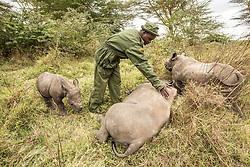 Orphaned baby southern white rhinos are fed milk and then take a nap at the Lewa Wildlife Conservancy in Northern Kenya. The Conservancy hosts an immense range of diversity. Yet Lewa's mission is not only to protect wildlife, but to act as a catalyst for conservation across northern Kenya and beyond by supporting development in the communities outside the Conservancy's boundaries, Lewa has become the leading role model for sustainable wildlife conservation throughout East Africa.(Photo by Ami Vitale)