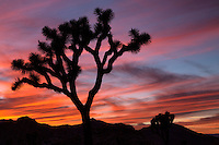 Joshua Tree sillouette at sunset