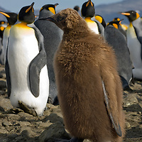 """A young King Penguin, called an """"oakum boy"""" stands in a huge rookery at Salisbury Plain, South Georgia, Antarctica."""