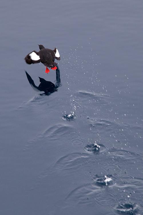 Noruega. Ártico. Norte de las Islas Svalbards.<br /> Guillemot negro (Cepphus grylle).<br /> <br /> © JOAN COSTA