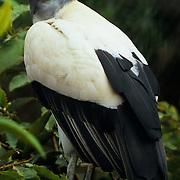 Majestic king vulture in Ecuador.