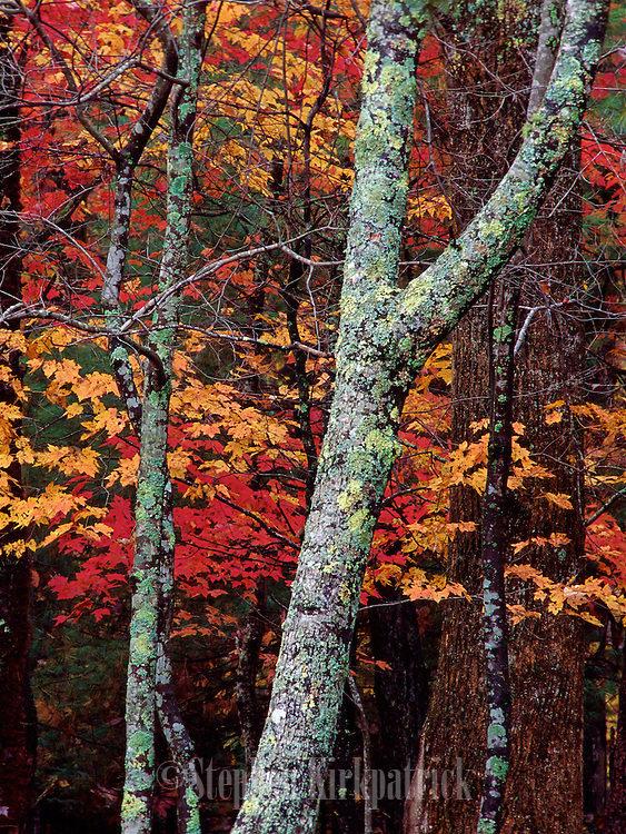 Fall color - Smoky Mountains N.P., Tennessee.