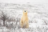 Curious polar bear in the Canadian Subarctic