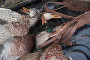 Duck hunting haul at dawn south-east of Minot, North Dakota, United States. The duck hunters travel in the dark to the place they suspect will be the morning feeding roost for ducks. As the sun comes up they have prepared decoys in the field and hide behind some undergrowth in their camouflage clothing. As the sun rises soem ducks take to the air for their morning feed. As they draw near the hunters make female and feeding duck calls to attract the flying birds towards the decoys and to within shooting range. The moment they are close enough the hunters quickly take aim anf fire their shotguns; some of the ducks fall to the ground. A great deal of work and effort goes into this type of shooting, with the result being a few fine Mallards for the pot.