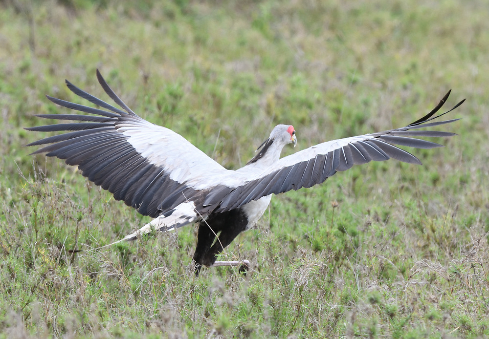 A secretary bird (Sagittarius serpentarius) takes off by running through dry grass Serengeti National Park, Tanzania.
