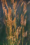 Sweet vernal grass (Anthoxanthum odoratum) before the rain, near Gramzda, Kurzeme, Latvia Ⓒ Davis Ulands   davisulands.com