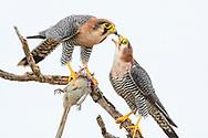 Ein Paar des Rothalsfalken (Falco chicquera) teilt sich die Beute eines getöteten Mausvogels, Murchison Falls National Park, Uganda<br /> <br /> A pair of Red-necked falcon (Falco chicquera) shares the prey of a killed mouse bird, Murchison Falls National Park, Uganda