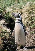A Megallanic Penguin (Spheniscus magellanicus)  at the nesting colony at Otway Sound. Punta Arenas, Republic of Chile. 16Feb13