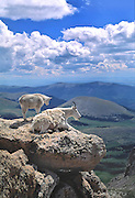 Mountain Goats, Mt. Evans, Colorado