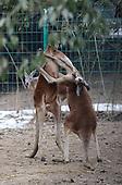 Kangaroos Fight