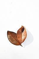 Fallen Magnolia leaf photographed on white background with graphic shadow. Fallen Magnolia leaf photographed on white background with graphic shadow.