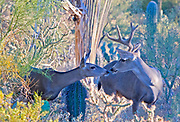 SEXUAL SELECTION IN ONE FRAME   Having lost one of his antlers in battles with other males, a mule deer is meeting local females.