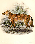 "The Ethiopian wolf (Canis simensis), [Here as Abyssinian Wolf] also known as the Simien jackal or Simien fox, is a canid native to the Ethiopian Highlands. From the Book Dogs, Jackals, Wolves and Foxes A Monograph of The Canidae [from Latin, canis, ""dog"") is a biological family of dog-like carnivorans. A member of this family is called a canid] By George Mivart, F.R.S. with woodcuts and 45 coloured plates drawn from nature by J. G. Keulemans and Hand-Coloured. Published by R. H. Porter, London, 1890"