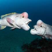 These are two mature male Asian sheepshead wrasses (Semicossyphus reticulatus) fighting over territory during the breeding season. During this season, the mature males take on a whitish coloration, particularly when they are approaching female wrasses and when they engage in territorial disputes with other males. The male on the left in this image is Yamato, the dominant male in this area. He is the successor to Benkei, the previous dominant male. When Benkei died, Yamato took over. Wrasses are protogynous hermaphrodites, meaning that all individuals start life as females, then eventually turn into males.