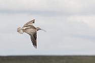 Curlew flying over Bamford Moor