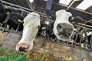 Nederland, Ooij, 13-10-2019 De koeien in de stal. Koeienstal . FOTO: FLIP FRANSSEN