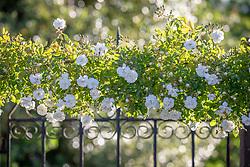 Rosa 'Sander's White Rambler' AGM