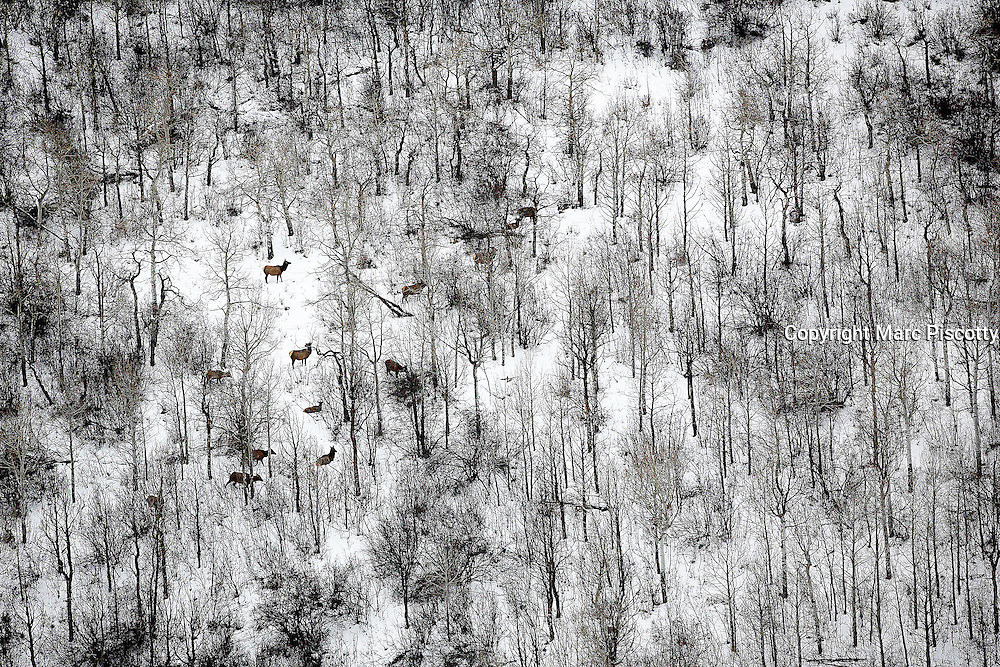 EDWARDS, CO - DECEMBER 02 : Aerial images of a herd of elk in the mountains surrounding Mark Alan Schwartz's multi-million dollar Edwards, Colo. home in a gated community. Schwartz is connected to property tax lien investors Aeon Financial, CapitalSource Bank fbo Aeon, Lakeview Holding, and Woods Cove II. The companies foreclose on people who haven't paid their property taxes. (Photo by Marc Piscotty for the Washington Post)