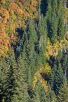 Autumn paints the vine maple (Acer circinatum) on the mountainsides in Stevens Canyon of Mount Rainier National Park with vivid warm color