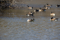 Canadian Geese (Branta canadensis) on a small lake