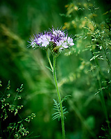 Lacy Phacelia. Image taken with a Leica SL2 camera and 24-90 mm lens.