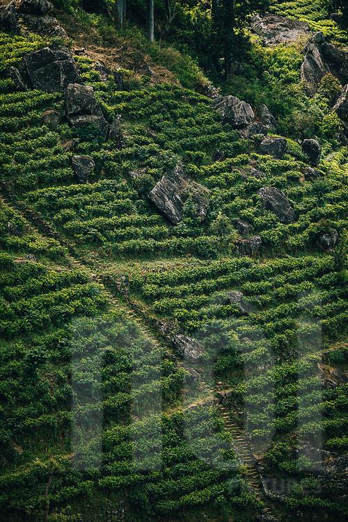 A tea plantation in the upper hills of  Ella, Sri Lanka, Asia