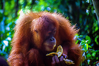 Indonesia, Sumatra. Bukit Lawang. Gunung Leuser National Park. The orangutan sanctuary of Bukit Lawang is located inside the park. At the feeding platform eating bananas.
