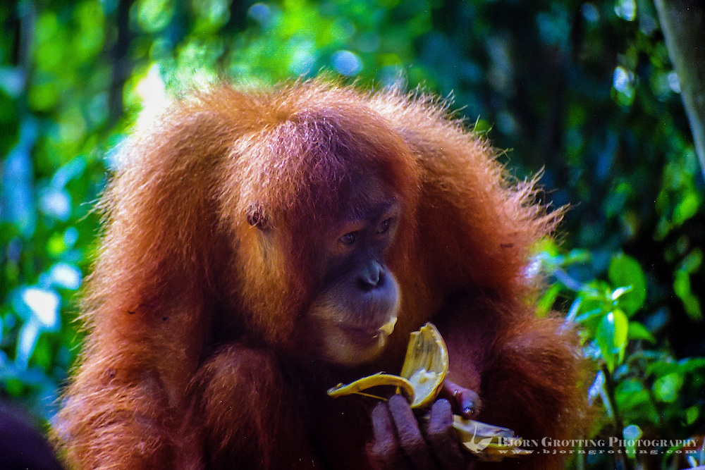 Indonesia, Sumatra. Bukit Lawang. Gunung Leuser National Park. The orangutan sanctuary of Bukit Lawang is located inside the park. At the feeding platform eating bananas.