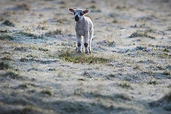 © Licensed to London News Pictures. 23/03/2020. Guyzance, UK. A Lambs at sunrise on a frosty morning on farmland near the hamlet of Guyzance in Northumberland, northern England. Photo credit: Ben Cawthra/LNP
