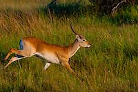 A red lechwe (antelope) running, Kwara Camp, Okavango Delta, Botswana.