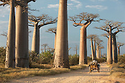 An ox and cart move along the Avenue of the Baobabs, near Morondava, Madagascar