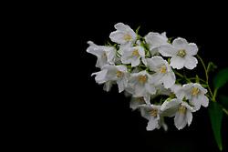 03 June 2008: flowering shrub