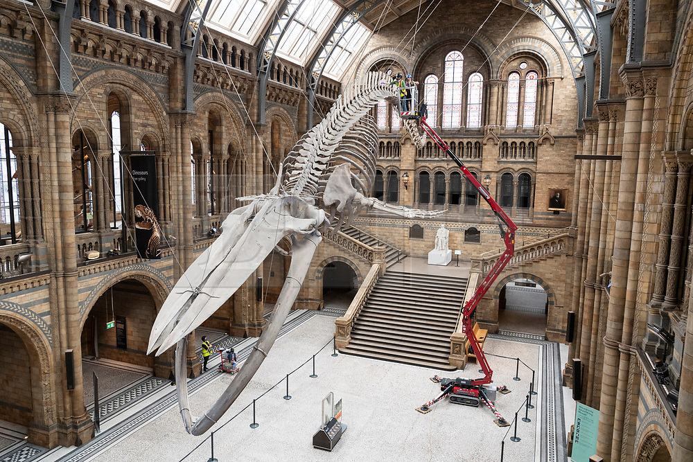 © Licensed to London News Pictures. 27/07/2020. London, UK. A Natural History Museum staff member cleans Hope the blue whaleskeleton. The museum re-opens to the public on August 5th after closing due to the Covid-19 pandemic. Photo embargoed for usage until 00:01 28/07/2020. Photo credit: Ray Tang/LNP
