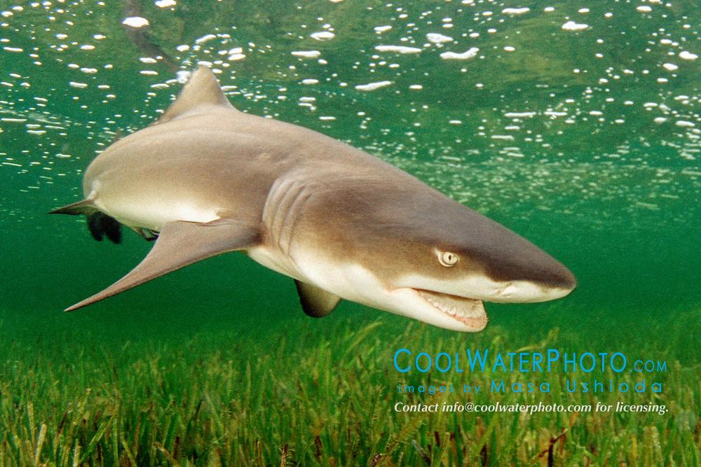 lemon shark, .Negaprion brevirostris, .Little Card Sound, Biscayne Bay, .Key Largo, Florida (Atlantic).